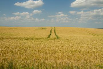 bun in wheat field