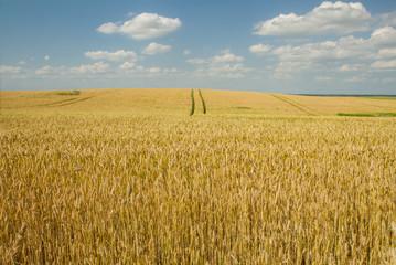 wheat field horizont