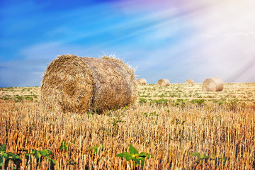 Bales of straw in the field (bales of hay)