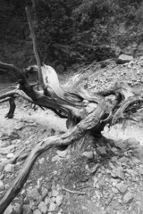 Death trunk with lines at Imbros Gorge