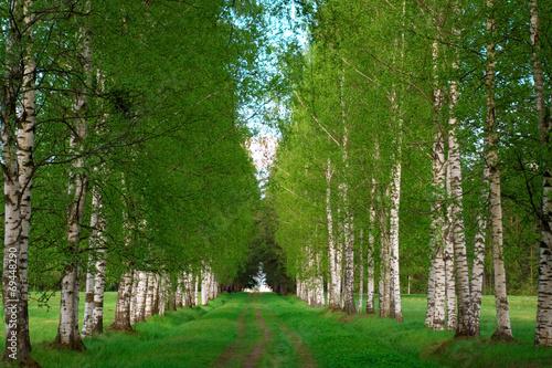 Obraz na Szkle birchwood