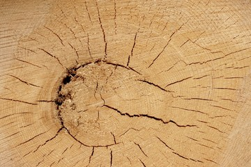 Old Tree Cross Section