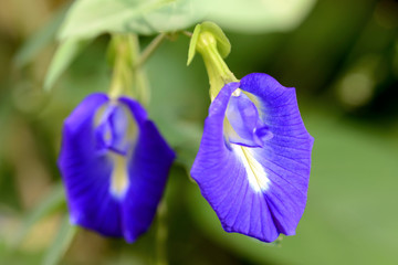 Butterfly Pea flower Thai Herb