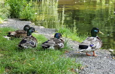 flock of wild ducks