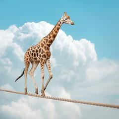 Giraffe balancing on a tightrope
