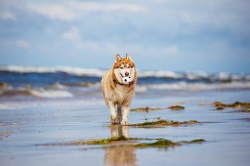 siberian husky dog on the beach