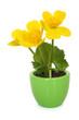 Caltha palustris in pot