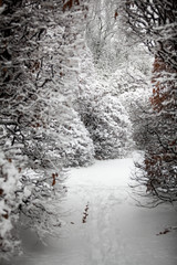 path between high bushes at forest covered with snow