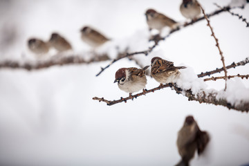 sparrows sitting on branch at snowy day