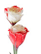 Beautiful red and white flowers Eustoma isolated on white.