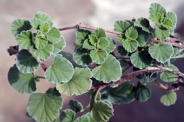 Kapland-Pelargonie; Pelargonium sidoides;