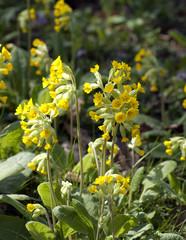 Schluesselblume; Primula veris;