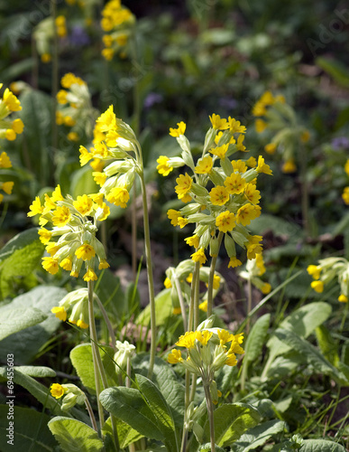 canvas print picture Schluesselblume; Primula veris;