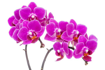 Beautiful pink orchid on white