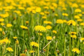 Field of yellow dandelions flowers