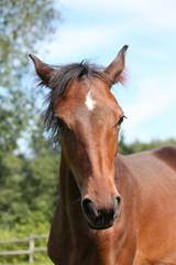 Cute bay foal portraity in summer