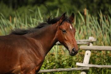 Cute bay foal portrait in summer