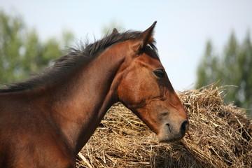 Brown foal eating dry hay in summer