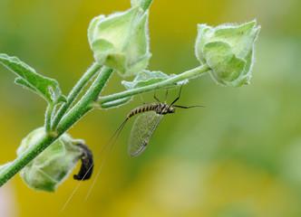 Macrophotography of Mayflies or shadflies