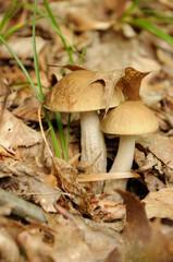 leccinum scabrum mushroom in forest