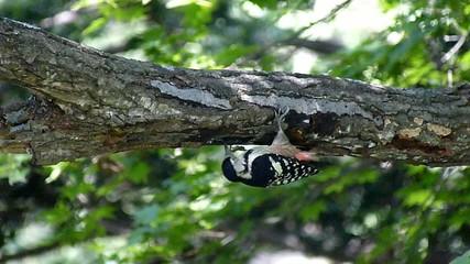 木を彫るキツツキのオオアカゲラ_スーパースローモーション_2