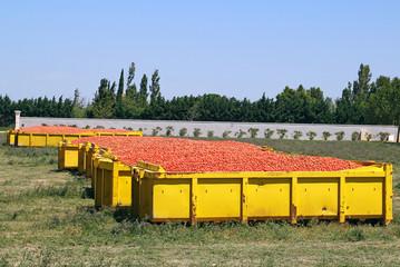 Récolte de tomates industrielles