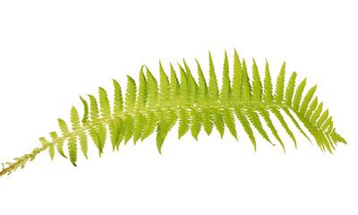 light green isolated fern leaf