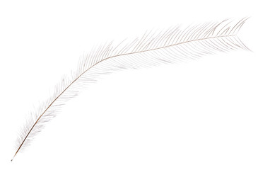 thin long isolated light feather