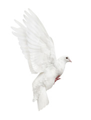 mooving isolated white pigeon