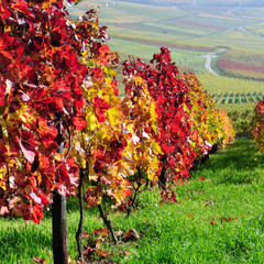Autumn vineyards. Germany
