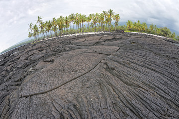 coconut palm tree on hawaiian black lava shore