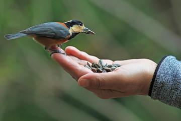 女性の手からヒマワリの種を食べるヤマガラ