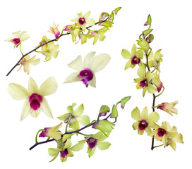 set of yellow orchid flowers with purple centers