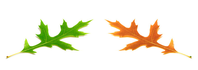 Autumn and spring oak leafs (Quercus palustris)