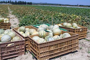 Production de melons