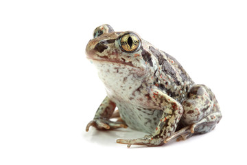 Common Spadefoot (Pelobates fuscus) isolated on white
