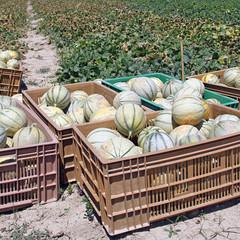 Melons frais