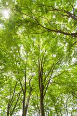 新緑のケヤキ林