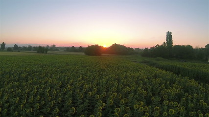 Field of sunflowers  and sunrise   Aerial