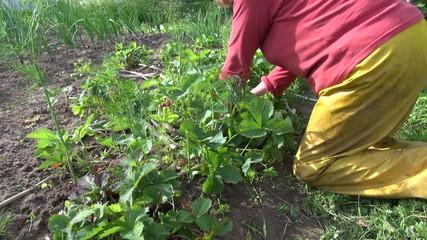 Farmer woman weed strawberry plants. Seasonal rural works