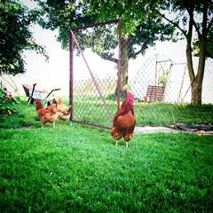 Hühner am Bauernhof