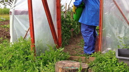 Farmer man spray tomato plants with chemical