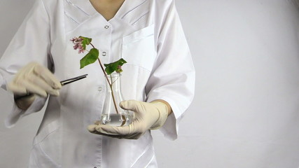 Scientist woman with pincette put buckwheat plant into flask