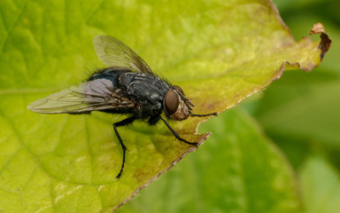 A macro photo of a Blue-bottle fly on a green leaf