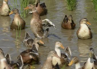 水田の合鴨