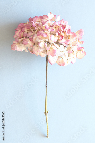 canvas print picture Hortensienblüte