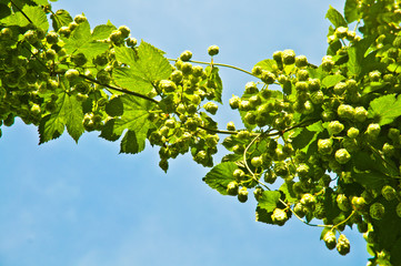Hop branch and flowers