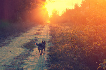 Dog running in the countryside at sunset
