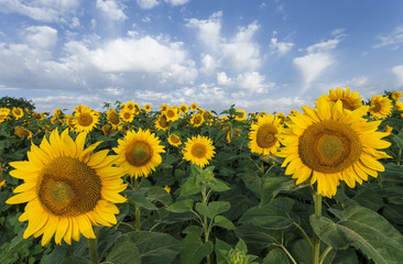 Sunflowers on a background of blue sky. Summer field.