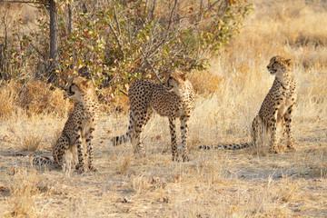 Three cheetahs, Namibia